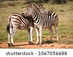burchell s zebra displaying... | Shutterstock . vector #1067056688