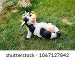 toy cow lying upside udder.... | Shutterstock . vector #1067127842