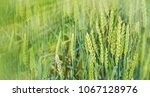 green wheat on field in rays of ... | Shutterstock . vector #1067128976