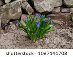 blue flowers of a snowdrop  ... | Shutterstock . vector #1067141708