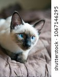 Stock photo the kitten siamese type mekong bobtail lies on a cover 1067146295