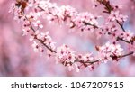 blossoming of the japanese... | Shutterstock . vector #1067207915