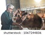 farmer in barn checking on...   Shutterstock . vector #1067244836