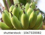 closeup of an asian tropical... | Shutterstock . vector #1067320082