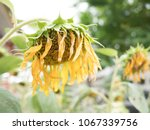 Small photo of Sunflowers wilt on soft focus
