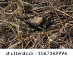 toad during the breeding season ... | Shutterstock . vector #1067369996