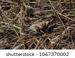 toad during the breeding season ... | Shutterstock . vector #1067370002