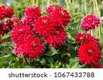 Red Dahlia Flower   Close Up...