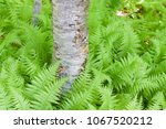 green  lush ferns at the base... | Shutterstock . vector #1067520212