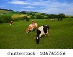 Cows Grazing On Green Meadow I...