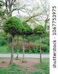 Rare Species Of Conifers  Thuja