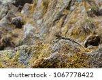 closeup of little lizard on...   Shutterstock . vector #1067778422