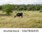 cattle grazing in the field   Shutterstock . vector #1067846435