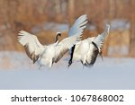 pair of two red crowned crane... | Shutterstock . vector #1067868002