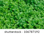 Plantation Of Green Parsley In...