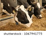 dairy cow. black and white cows ... | Shutterstock . vector #1067941775