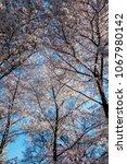cherry blossom festival in... | Shutterstock . vector #1067980142