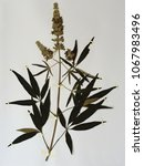 Small photo of Herbarium sheet from flowering Vitex agnus castus, the lilac chastetree or Monk's pepper, from the family Verbenaceae