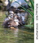 Small photo of A group of baby Wood ducks (Aix sponsa) on a log in the Rainbow river, Florida