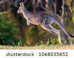 Kangaroo In Nature