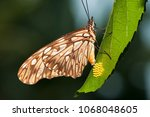 Butterfly Laying Eggs In...