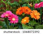 beautiful gerbera flower in... | Shutterstock . vector #1068072392