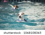A Male Jack Russell Terrier Is...