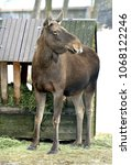 Small photo of Elk, Alces alces, largest extant species in deer family. Cloudy spring day
