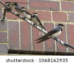 white throated swallows perched ...   Shutterstock . vector #1068162935
