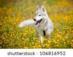 Beautiful Grey Siberian Husky...