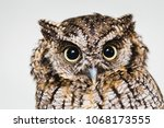 Stock photo photo in macro and high resolution of an owl baby owl in high quality raptor owl is a beautiful 1068173555