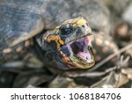 closeup of a red footed... | Shutterstock . vector #1068184706