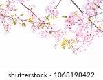 sakura flowers on trees with...   Shutterstock . vector #1068198422