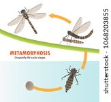 dragonfly life cycle... | Shutterstock .eps vector #1068203855
