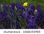 hyacinth and narcissus ...   Shutterstock . vector #1068253985
