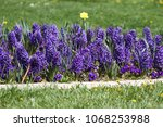 hyacinth and narcissus ...   Shutterstock . vector #1068253988