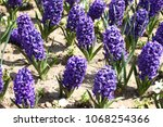 hyacinth. field of colorful... | Shutterstock . vector #1068254366