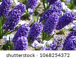 hyacinth. field of colorful... | Shutterstock . vector #1068254372
