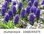 hyacinth. field of colorful...   Shutterstock . vector #1068254375