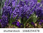 hyacinth. field of colorful...   Shutterstock . vector #1068254378