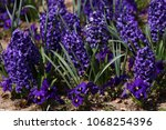 hyacinth. field of colorful... | Shutterstock . vector #1068254396