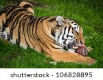 Siberian Tiger Eating Tiger...