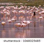 flamingos on the colorado... | Shutterstock . vector #1068325685
