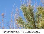 pine tree conifer with many... | Shutterstock . vector #1068370262
