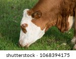 a cow enjoys grazing in the... | Shutterstock . vector #1068394175