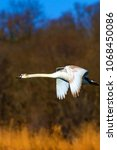 Small photo of Flying swan. White swan. Nature background.