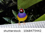the gouldian finch  erythrura... | Shutterstock . vector #1068475442