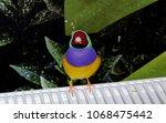 the gouldian finch  erythrura... | Shutterstock . vector #1068475442