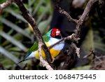 the gouldian finch  erythrura... | Shutterstock . vector #1068475445