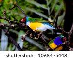 the gouldian finch  erythrura... | Shutterstock . vector #1068475448